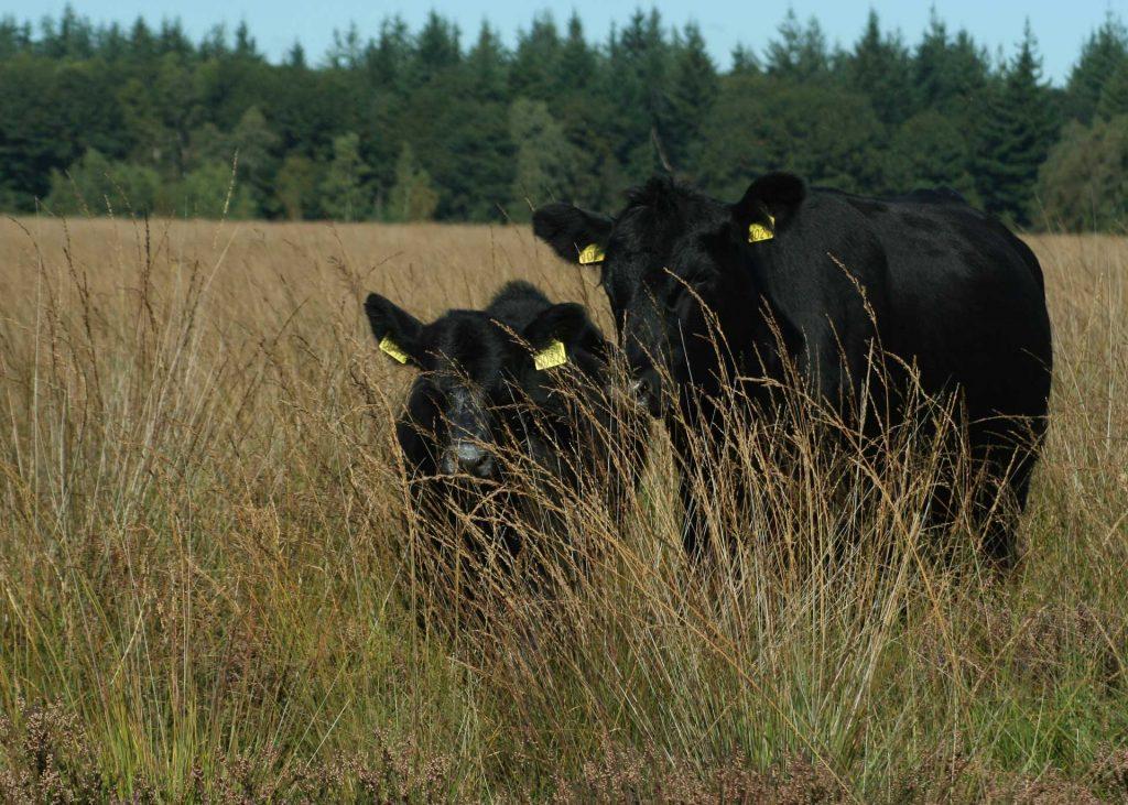 De Angus kalfjes blijven bij hun moeder en groeien op in kuddeverband
