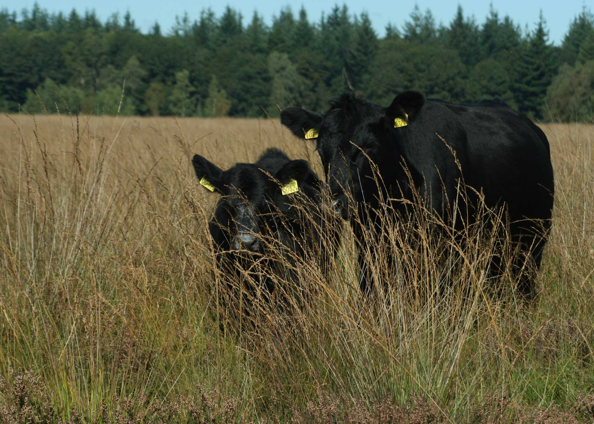 black-angus-in-kruidige-heidevelden