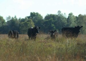 black-angus-opgroeien-in-kuddeverband