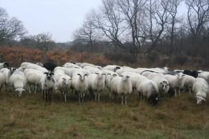 Kudde Schoonebeeker Heideschapen van Biologisch Natuurvlees