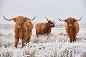 Rundervinken van Schotse Hooglander en Black Angus rundvlees
