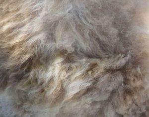 ruwe schapenwol om mee te vilten of te spinnen