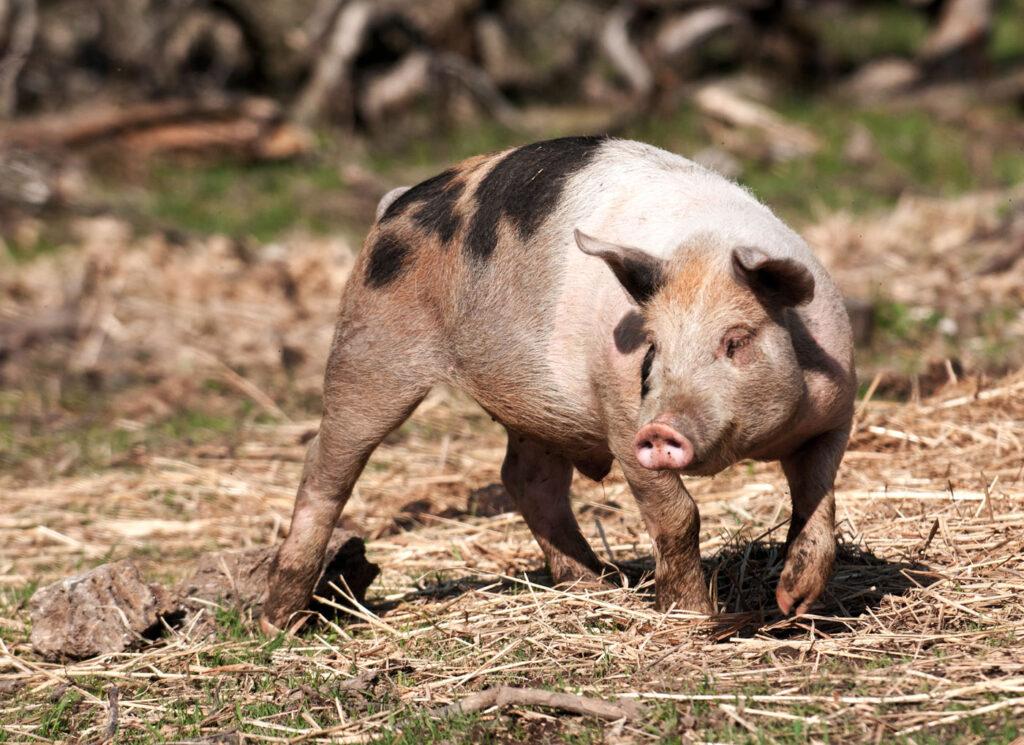 biologisch scharrelvarken online bestellen bij zorgnatuur.nl