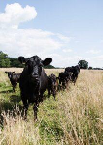 Biologisch-rundvlees-van Angus en Hooglander runderen uit-Nederlandse Natuurgebieden.