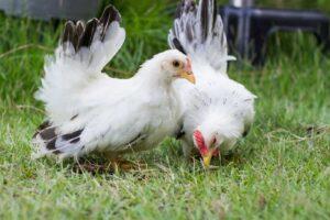 biologisch-vlees-van-kippenras-Les-Bleues