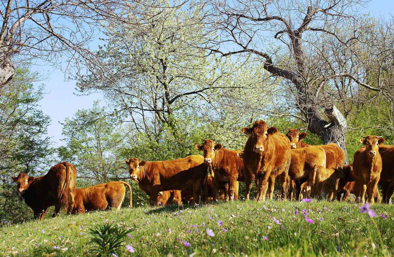 limousin-runderen-natuurvlees