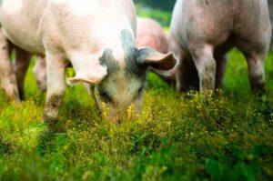 Varkensvlees van biologische boerderij online bestellen bij ZorgNatuur.nl