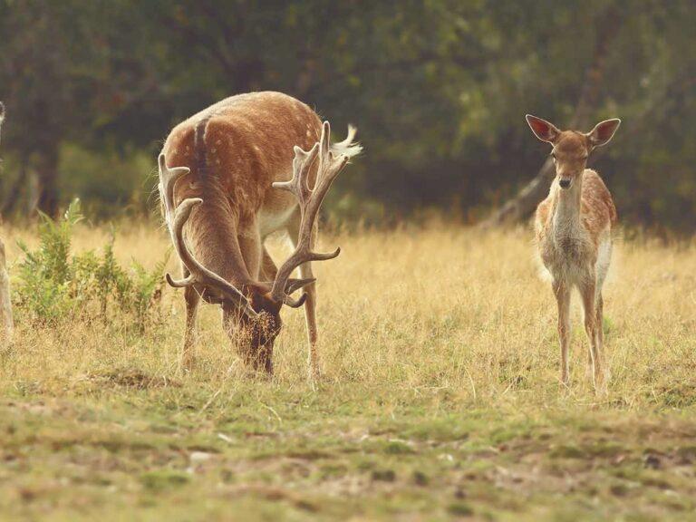 Het vlees van ons Wilde Hertenvleespakket komt vanVeluws edelhert