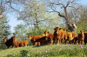100% grasgevoerd natuurvlees van Limousin runderen